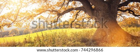 Golden autumn sun light falls through a oak tree, panorama #744296866