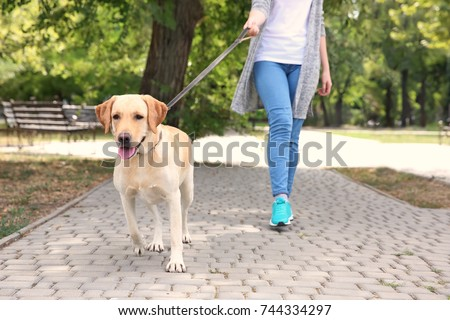 Woman walking Labrador Retriever on lead in park #744334297
