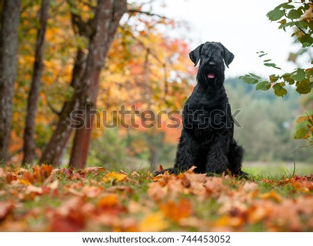 The Giant Schnauzer breed dog Sitting on the grass. Also known as Riesenschnauzer. Autumn Background #744453052