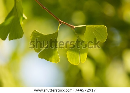 branch with leaves of ginkgo biloba close-up, beautiful lighting, early autumn #744572917