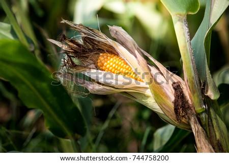 close up corn stalk with corn in a cob. #744758200
