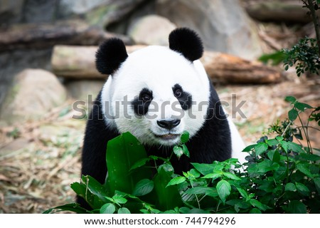 Cute Giant Panda with tree. (Ailuropoda melanoleuca) Animal and wildlife concept. Panda in Singapore Zoo. Royalty-Free Stock Photo #744794296