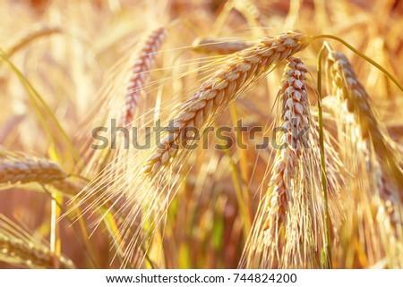 Spelt (Triticum spelta). Cereal. Grain crop, species of the genus Corn (Triticum).  #744824200
