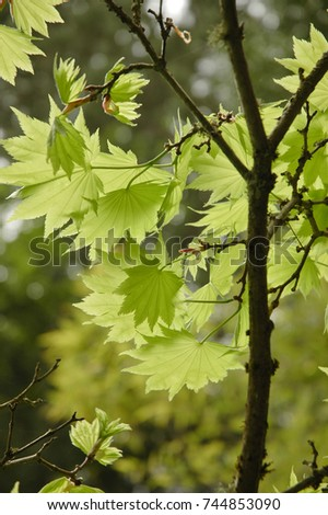Transparent view of green lush maple leaves #744853090
