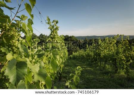 Vineyard Winery Landscape In South Poland/ Grapevines Sunset Landscape #745106179