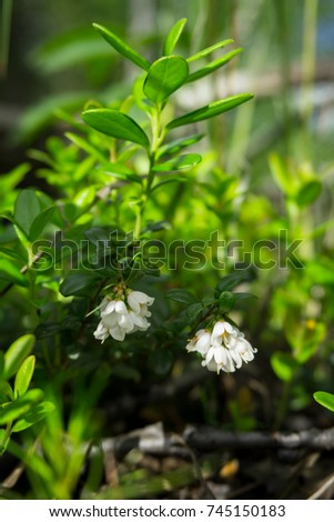 Flowers of cowberry in the forest #745150183