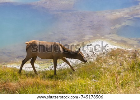 Cow Elk (Cervus Canadensis) feeding on the thermal pool background at West Thumb basin #745178506