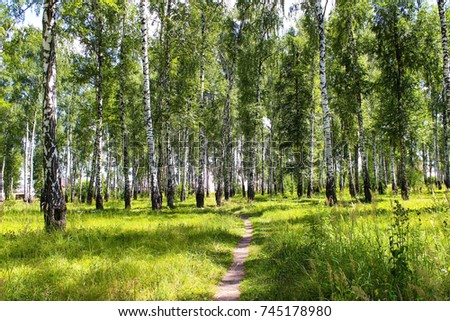 A path through the birch grove to the village. Summer sunny day in a birch grove. #745178980