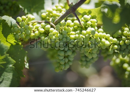 White vine grapes in vineyard agriculture scenics in south Poland #745246627