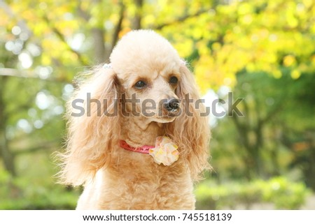 toy poodle #745518139