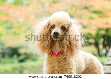 toy poodle #745518202