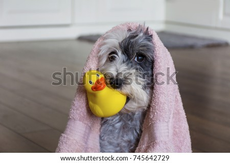 Cute Dog  with Pink Towel and yellow Rubber  Duck ready for Bath #745642729