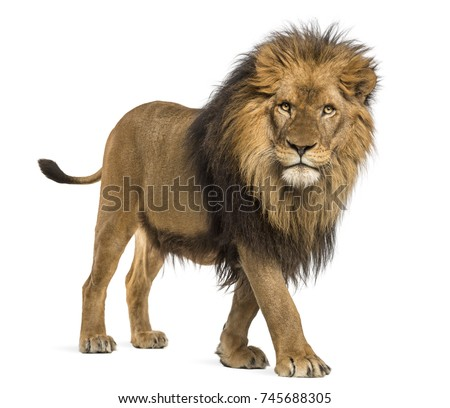 Side view of a Lion walking, looking at the camera, Panthera Leo, 10 years old, isolated on white Royalty-Free Stock Photo #745688305