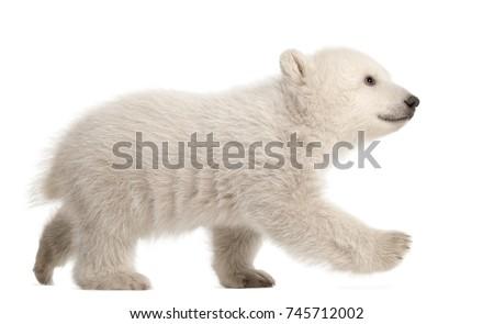 Polar bear cub, Ursus maritimus, 3 months old, walking against white background Royalty-Free Stock Photo #745712002