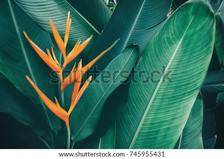 exotic flower, tropical foliage nature dark green background #745955431