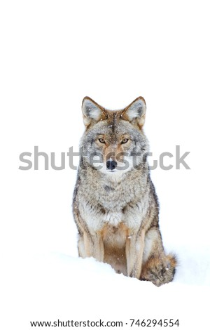 A lone coyote Canis latrans isolated on white background sitting in the winter snow in Canada