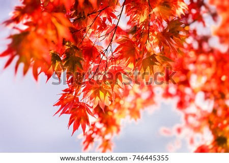 Red maple leaves in the autumn seen against the sun. #746445355