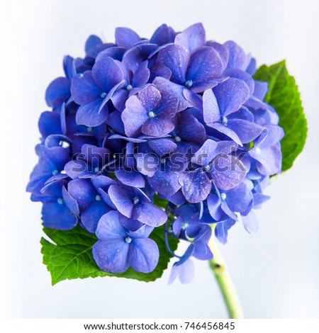 Soft blue Hydrangea on white background #746456845