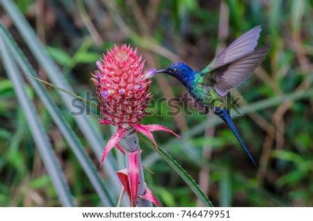 Swallow-tailed Hummingbird feeding on a pineapple inflorescence