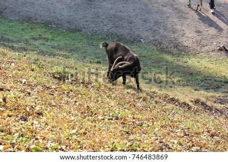 autumn, goat #746483869