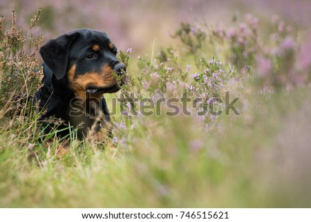 Rottweiler puppy in nature #746515621