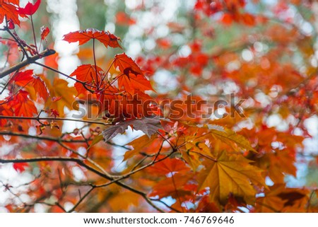 Autumn Leaves, Dandenong Ranges #746769646