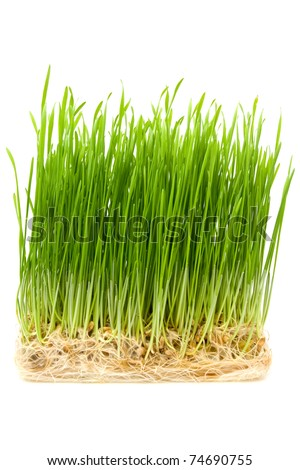 young wheat sprouts on a white background #74690755