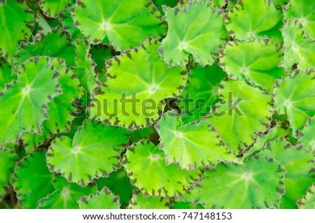 Begonia leaves background #747148153