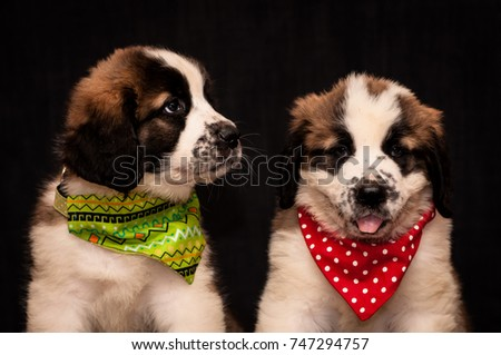 Portrait of two puppies of the Moscow watchdog on a white background #747294757