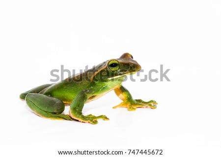 Tree Frog  #747445672