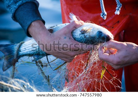 fisherman while cleaning the fishnet from the fish at sunrise Royalty-Free Stock Photo #747557980