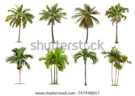 Coconut and palm trees Isolated tree on white background , The collection of trees.Large trees are growing in summer, making the trunk big. #747948817