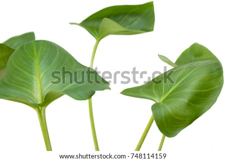 Isolated flower leaves of Callas #748114159