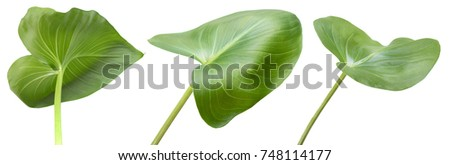 Isolated flower leaves of Callas #748114177