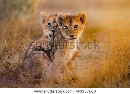 lion cubs playing Royalty-Free Stock Photo #748137688