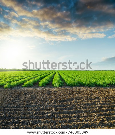 black field and green tomatoes bushes in sunset #748305349