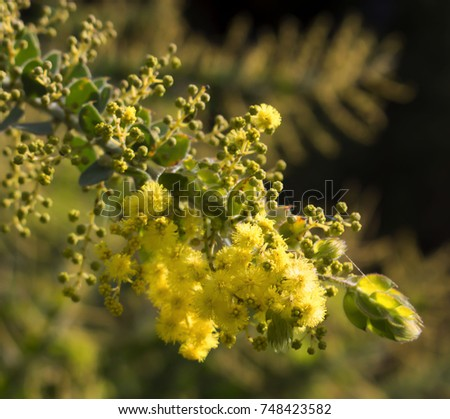 Soft  beautiful  fluffy  fragrant  yellow West Australian wattle acacia species  blooming in spring in Big Swamp, Bunbury, Western Australia  adds  sweet fragrance  and food for native bird species . #748423582