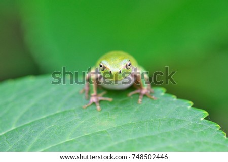 Frog resting with hydrangea leaves #748502446
