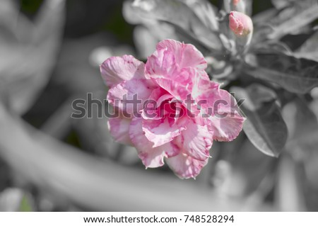 pink rose desert on replace color technical #748528294