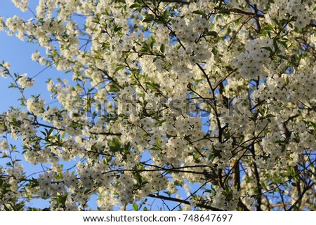 Flowers of cherries. Natural natural background. #748647697