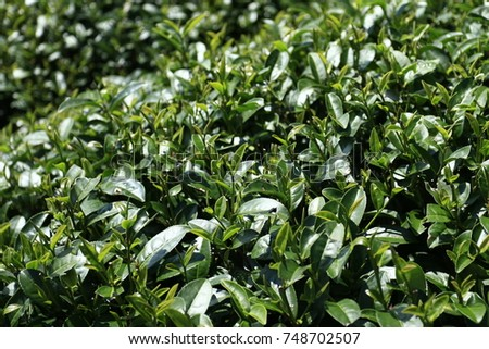 This is method to plant Clean green tea in Vietnam #748702507