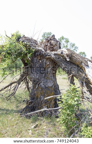 The old dry tree fell apart after a hurricane into several parts from a lightning bolt. #749124043