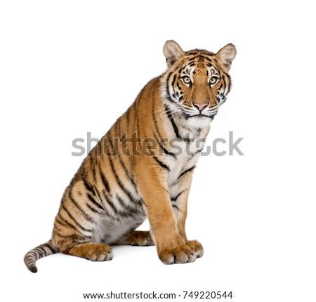 Portrait of Bengal Tiger, Panthera tigris tigris, 1 year old, sitting in front of white background, studio shot #749220544