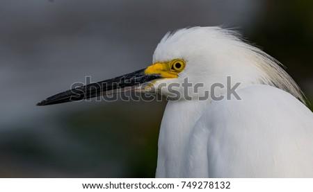 A Snowy Egret enjoying the day in Florida. #749278132