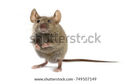 Wood mouse in front of a white background #749507149