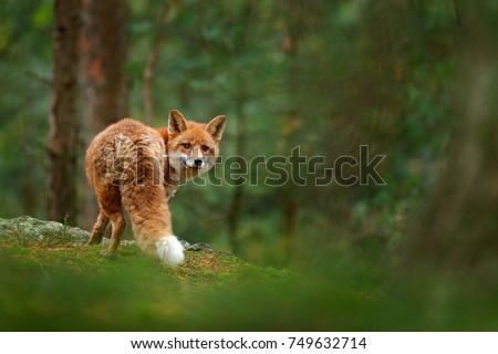 Fox in green forest. Cute Red Fox, Vulpes vulpes, at forest on mossy stone. Wildlife scene from nature. Animal in nature habitat. Animal in green environment. #749632714
