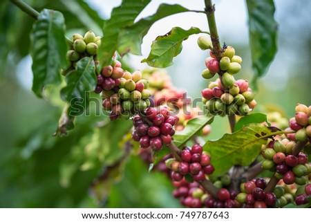 Coffee beans on tree #749787643