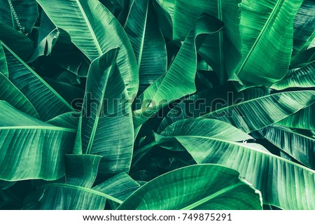 tropical banana leaf texture, large palm foliage nature dark green background Royalty-Free Stock Photo #749875291