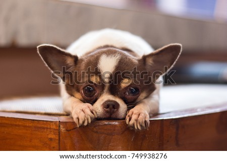 Lonely dog, red nose chihuahua dog