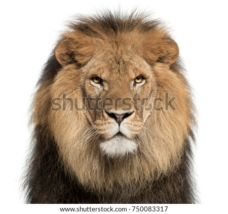 Close-up of lion, Panthera leo, 8 years old, in front of white background Royalty-Free Stock Photo #750083317